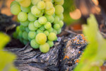 _High Res Vineyard_Grapes2.jpg